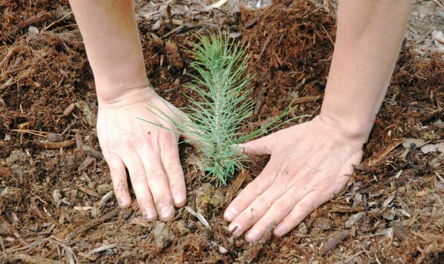 Romsilva planteaza peste 3,5 milioane de puieti forestieri